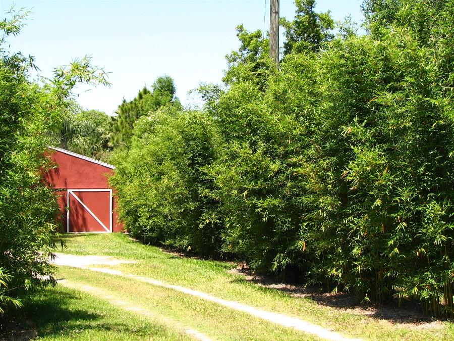Bambusa textilis gracilis used as a hedge