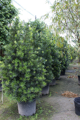 Podocarpus Macrophyllus Maki Neighborhood Nursery