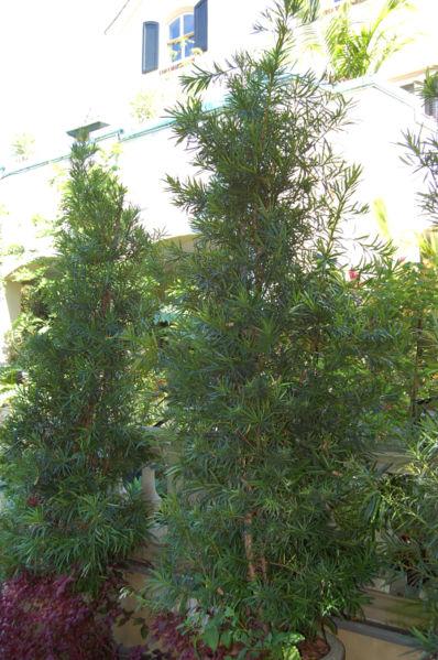 Podocarpus Macrophyllus Neighborhood Nursery