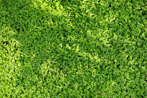Baby Tears Ground Cover