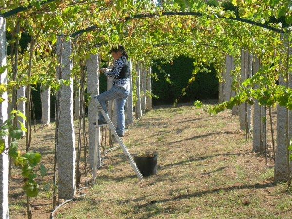 grape-vines-on-pergola - Grape-vines-on-pergola - Neighborhood Nursery