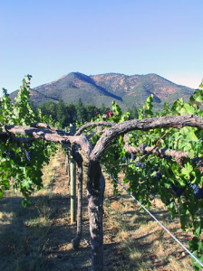 Mature Grape Vines In Orchard