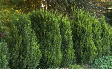 Buxus x 'Green Mountain'- Green Mountain Boxwood.png