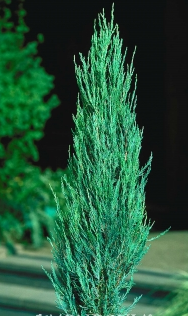 Juniperus virginiana 'Blue Arrow'- Blue Arrow Juniper.png
