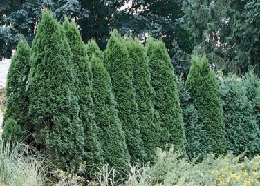 Thuja occidentalis 'Hill's Dark Green'- Hill's Dark Green Arborvitae.png