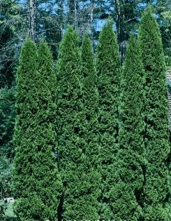 Thuja occidentalis 'Malonyana'- Malonyana Arborvitae.png