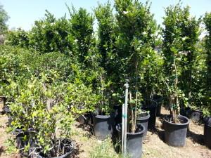 Ligustrum japonicum 'Texanum' column #15 Texas Privet - Waxleaf Privet syuhc 20140424 (2)