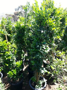 Ligustrum japonicum 'Texanum' column #15 Texas Privet - Waxleaf Privet syuhc 20140424