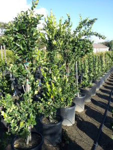 Ligustrum texanum- Texas Privett 15gal column