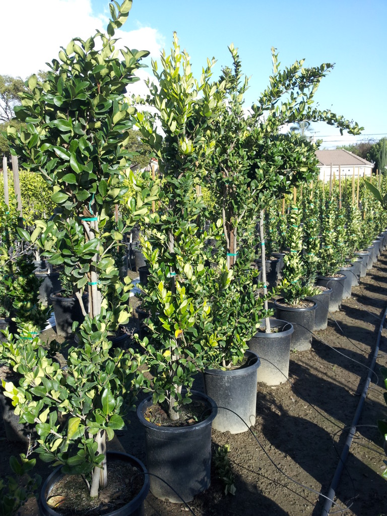 Ligustrum Texanum Texas Privet 15gal Column