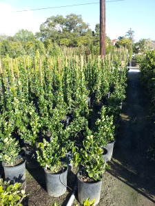 Ligustrum texanum- Texas Privett 5gal