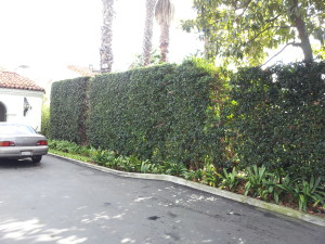 Ligustrum texanum- Texas Privett Hedge 12ft