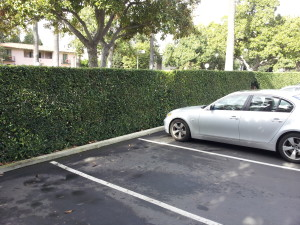 Ligustrum texanum- Texas Privett Hedge 7ft