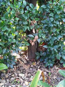 Ligustrum texanum- Texas Privett Hedge Trunk 14 yrs old