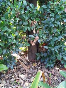 Ligustrum texanum- Texas Privett Hedge Trunk 14 yrs old