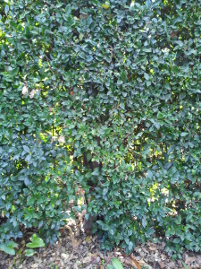 Ligustrum texanum- Texas Privett Hedge Trunk