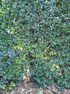 Ligustrum texanum- Texas Privett Hedge Trunk