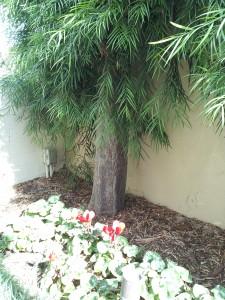 Podocarpus gracilior Espaliered 12 ft tall Trunk