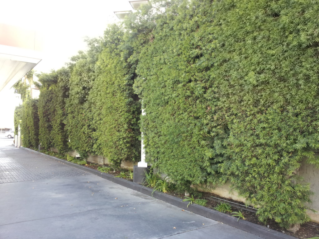 Podocarpus Gracilior Hedge 14ft Neighborhood Nursery