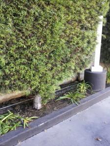 Podocarpus gracilior Hedge 14ft Trunk
