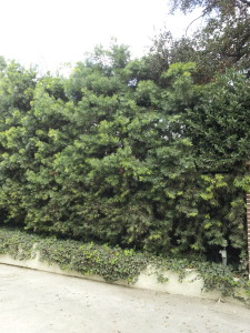 Podocarpus gracilior Hedge Untrained 12 ft
