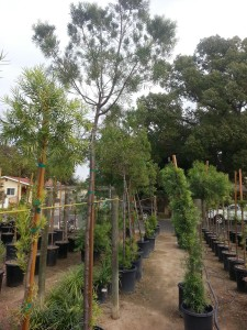 Podocarpus gracilior Standard 15g vocw