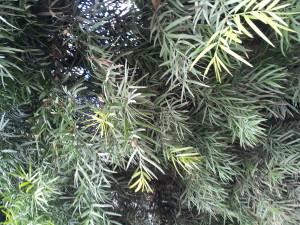 Podocarpus gracilior foliage