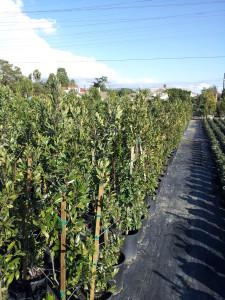 Prunus caroliniana- Carolina Cherry 5gal
