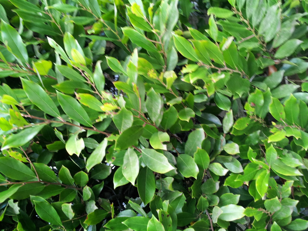 Ligustrum Texanum Texas Privet 5gal Neighborhood Nursery