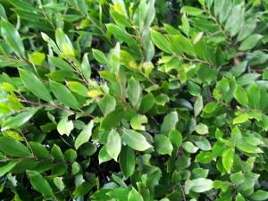 Prunus caroliniana- Carolina Cherry Close Up