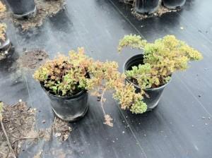 Juniper procumbens 'Nana'- Dwarf Japanese Juniper Top View #01 Large Size Frost Damage