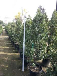 Prunus caroliniana Column #15 gal Carolina Cherry 5ft 6in tall