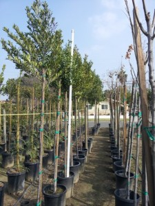 Prunus caroliniana Patio Tree #15 gal Carolina Cherry 9 ft tall