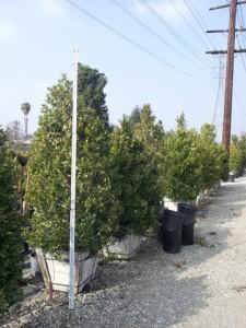 Prunus caroliniana bush 24in box Carolina Cherry 7ft 6in tall
