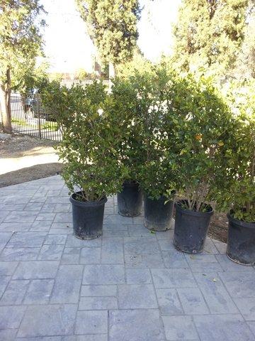 Ligustrum japonicum 'Texanum' #15 gal - Texas Privet - Waxleaf Privet