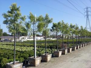 Podocarpus gracilior std 24in box 10.5ftx3.5ft