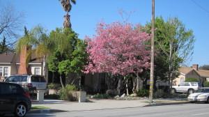 Tabebuia impetiginosa - Pink Trumpet Front Yard