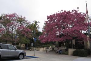 Tabebuia impetiginosa - Pink Trumpet Tree Arboretum Entrance