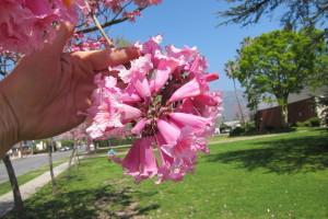 Tabebuia impetiginosa - Pink Trumpet Tree Flower Cluster