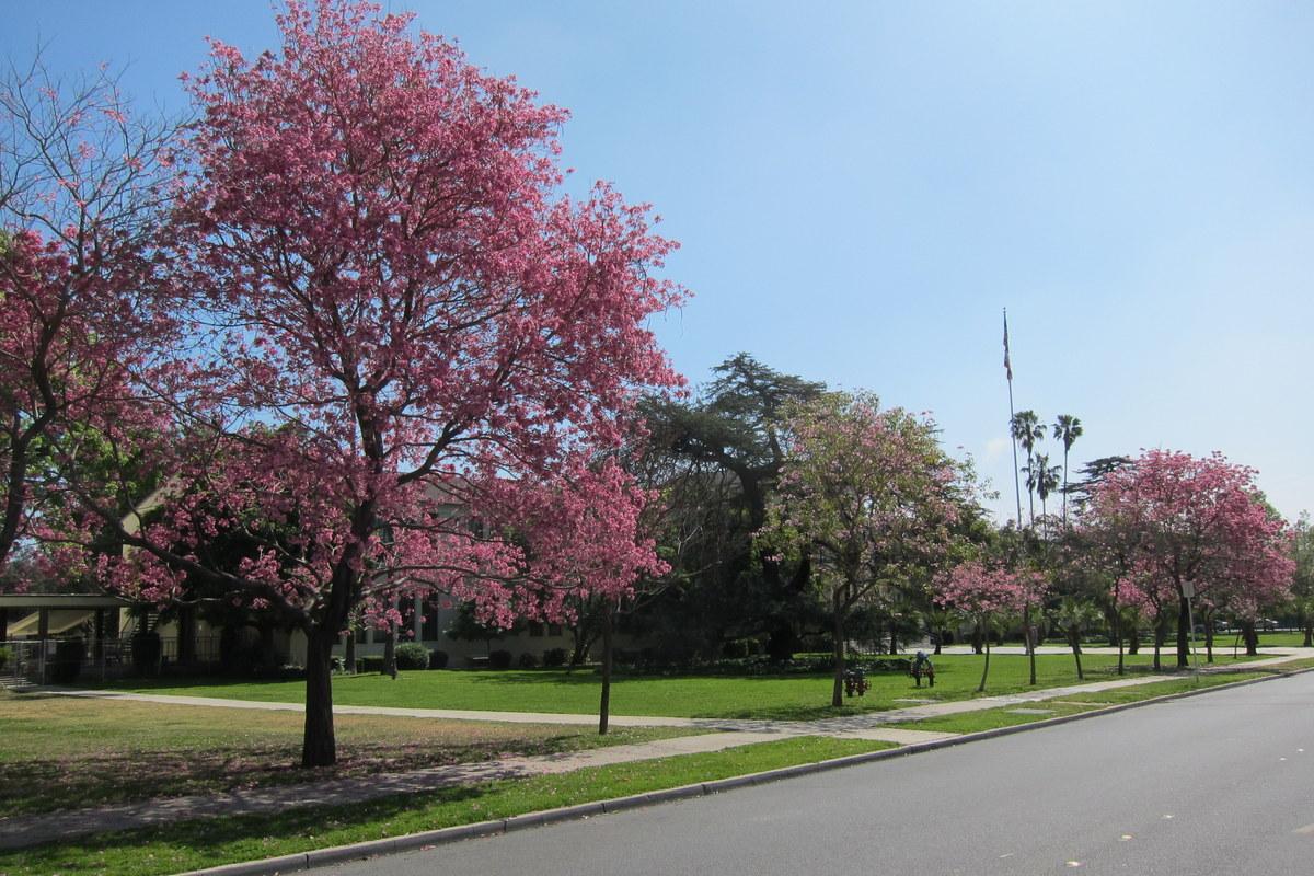 Tabebuia Impetiginosa Pink Trumpet Tree Parkway Trees