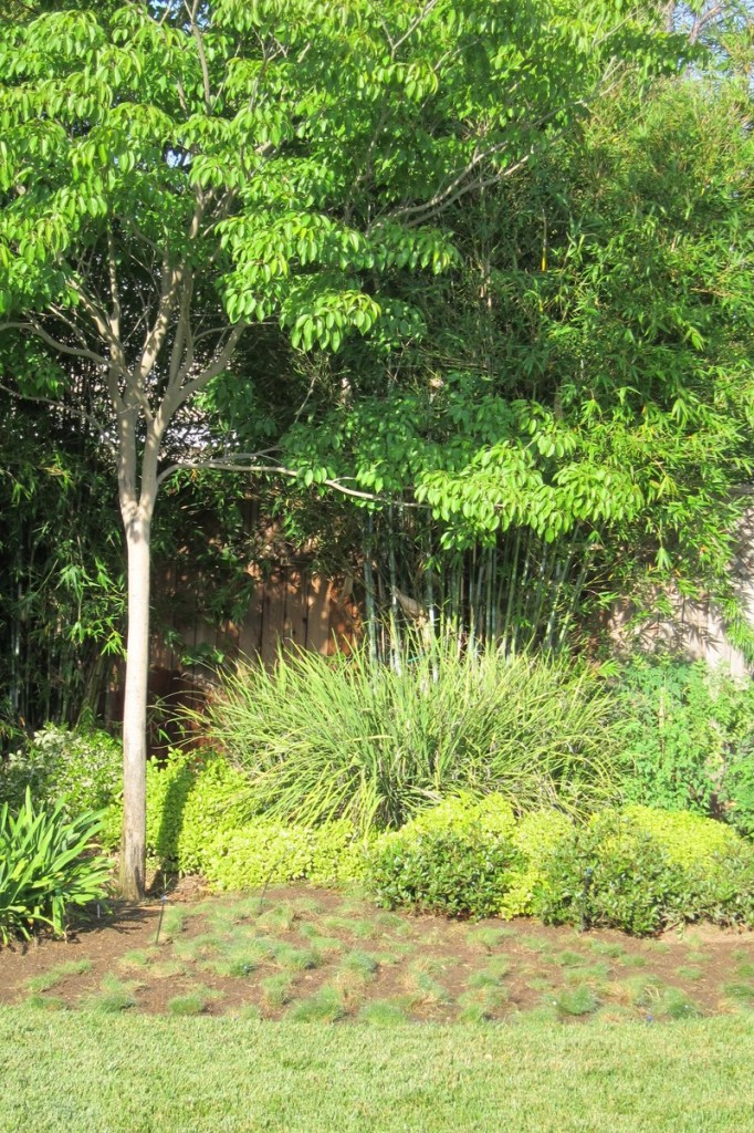 Zoysia tenuifolia- Korean Grass Replanted as Plugs
