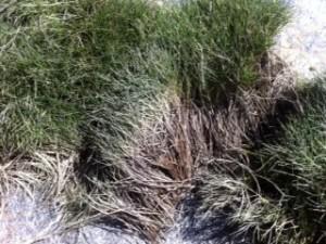 Zoysia tenuifolia- Korean Grass Thatch