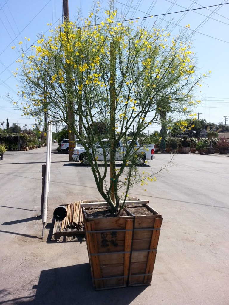 Palo verde tree called Desert Museum puts on show all ...