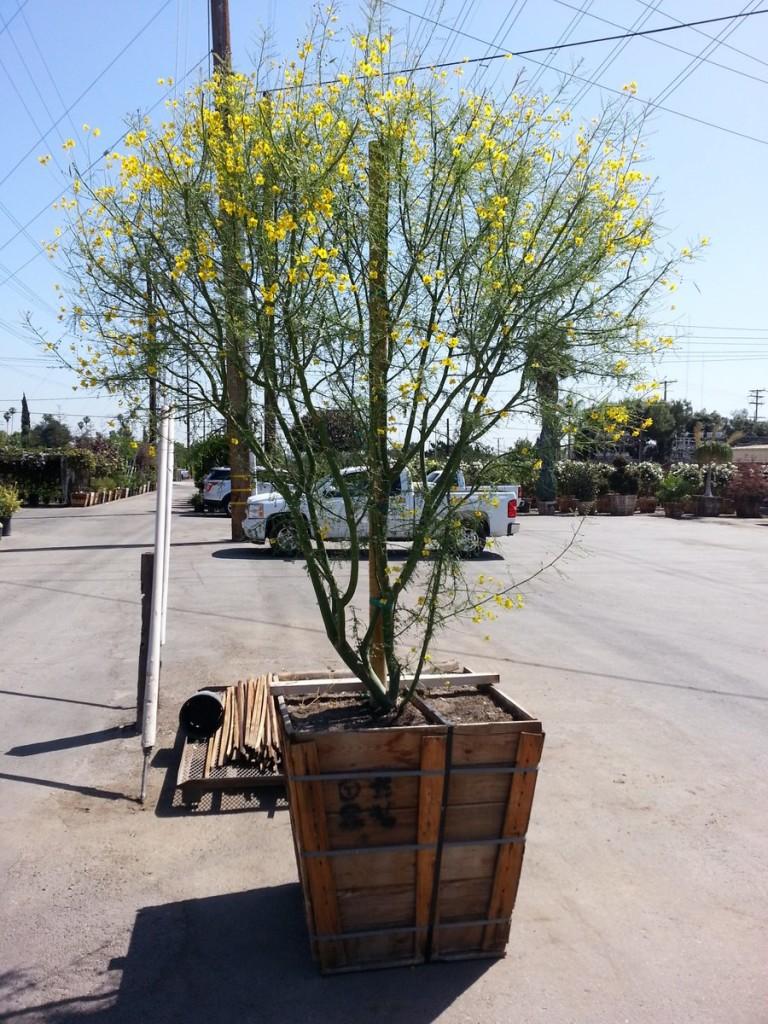 Cercidium x 'Desert Museum'- Palo Verde Desert Museum multi 36in