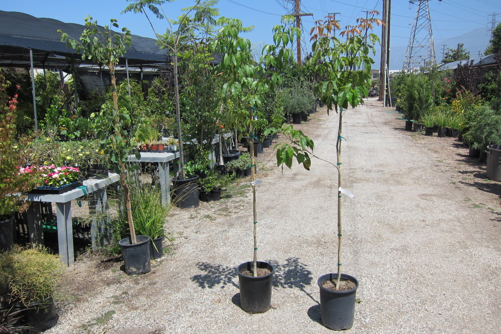Tabebuia impetiginosa 5gal 6 ft Tall Young Plants