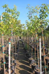 Tabebuia impetiginosa 15gal 7-8ft Tall Young Plants