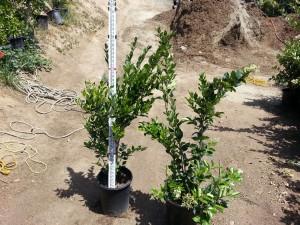 Ligustrum texanum bush #05 Texas Privett