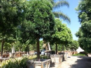 Podocarpus gracilior standard 48in box