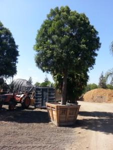 Podocarpus gracilior standard 60in box