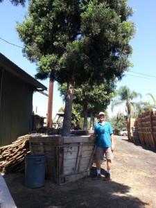 Podocarpus gracilior standard 60in box Standing next to the box